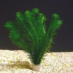 egeria plant